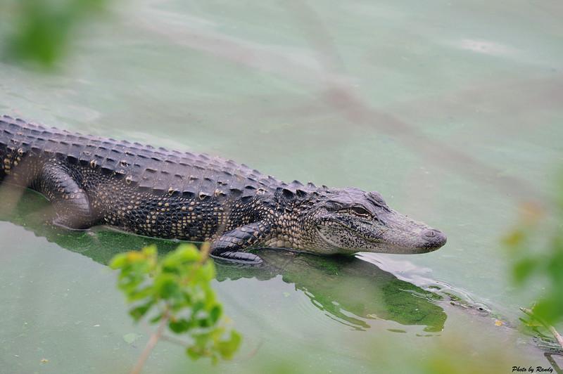Mr Gator at High Island