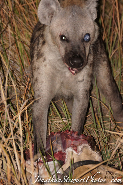 One-eyed hyena finishes off the leopard's kill