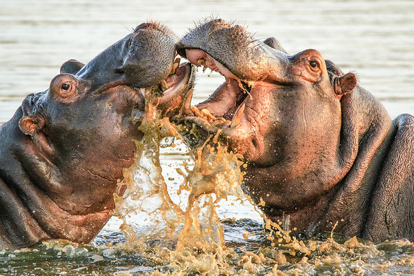 Hipos playing each other - Kruger National Park, South Africa