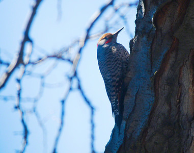 Northern Flicker : Woodpecker