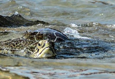 turtle release 137