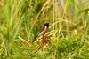 A Hungry Stonechat