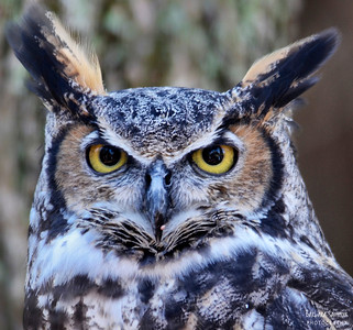 """Mattie"" - Great Horned Owl The Carolina Raptor Center ~ Huntersville, NC"