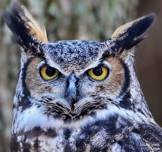 """Mattie"" - Great Horned Owl The Carolina Raptor Center ~ Huntersville, NC"
