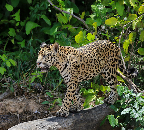 Jaguar at Pantanal, Brazil