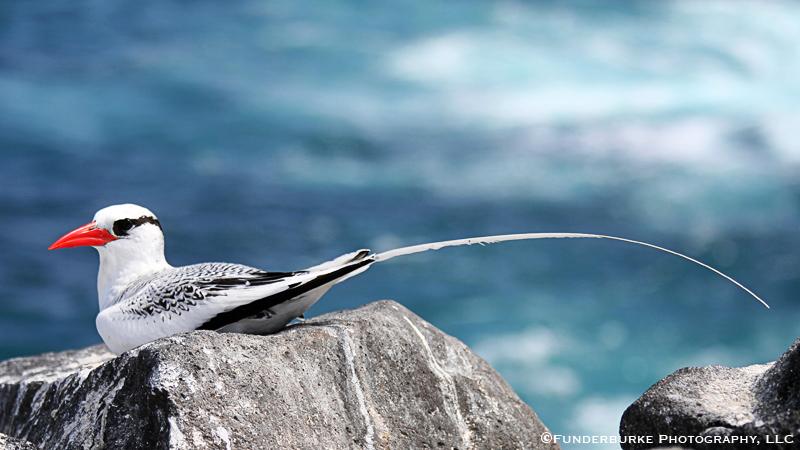 Red-billed Tropicbird, Galapagos Islands