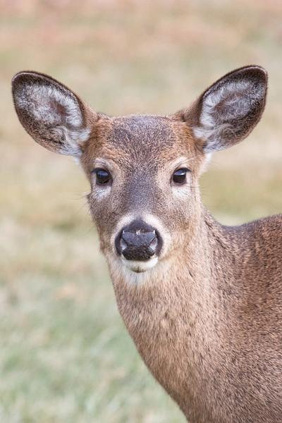 White-tailed deer, Shenandoah National Park