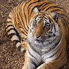 Loved using my big lens today!! It was great getting the tight shots of tigers