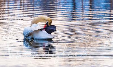 wlc Swans 03241742March 24, 2017