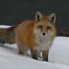 Fox jpg
