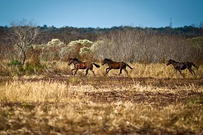 Wild Horses Paynes Prairie Preserve State Park Micanopy, Florida © 2011