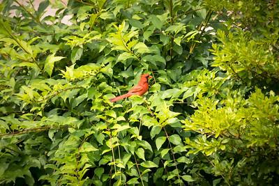 Cardinal Summer 2017