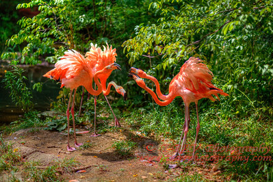 Fighting Flamingos_3177