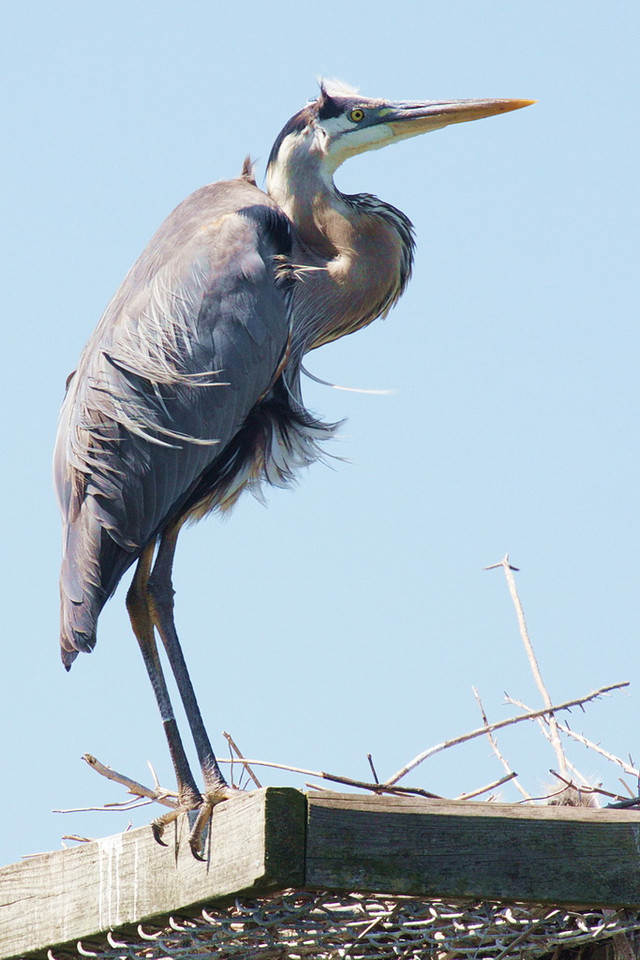 5134 It is still windy. I don't know what the dragonflies are doing now, but this adult great blue heron is facing to leeward, causing the wind to ruffle its feathers on its back, chest, crown, and cheeks.