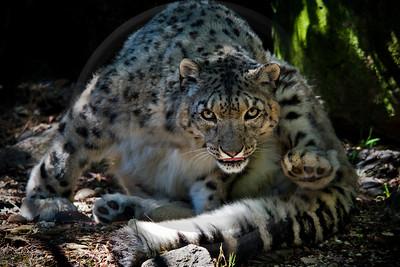 WILD0163 Snow Leopard 1