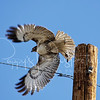 Merlin (pigeon hawk)