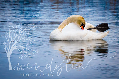 wlc Swans 03241735March 24, 2017