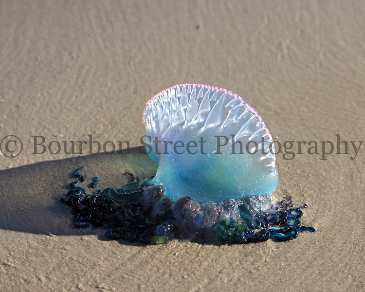 Portuguese Man-of-War on Padre Island TX