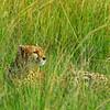 Cheetah.  Masai Mara Reserve, Kenya