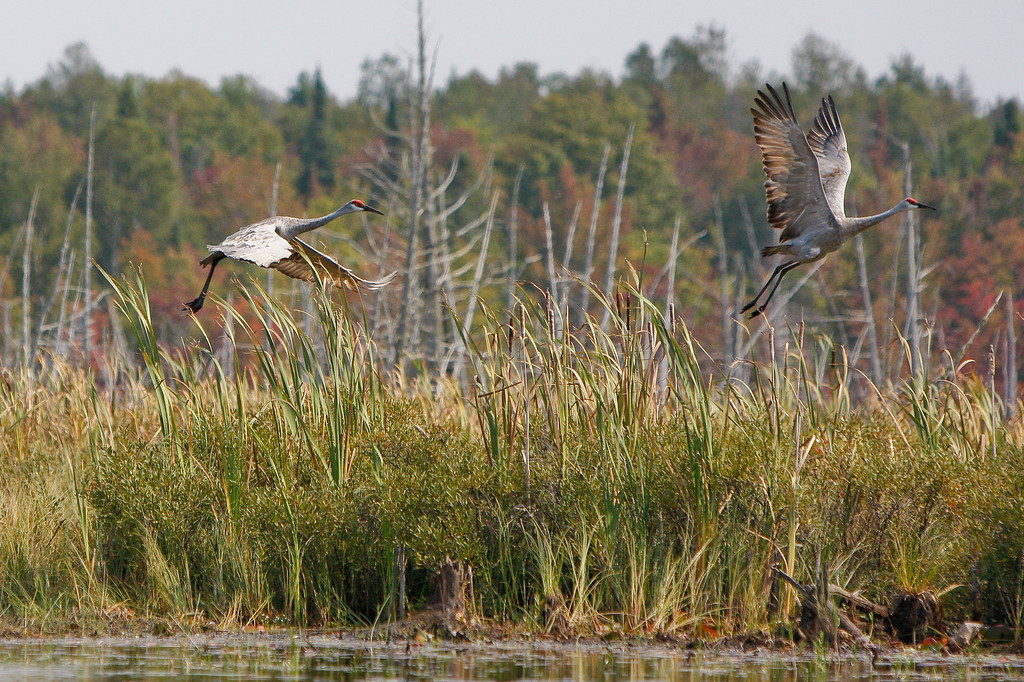 Pair of Sandhill Cranes take flight, Keweenaw County.