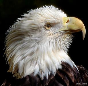 Bald Eagle ~ Brookgreen Gardens Murrells Inlet, South Carolina