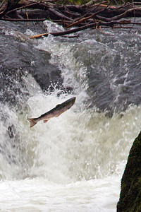 Blue Backed Salmon jumping at Cenrath Falls, January 2011