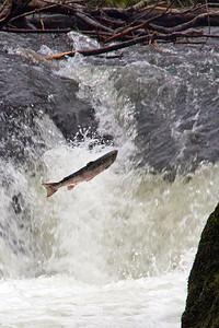 Blue Backed Salmon jumping at Cenrath Falls, January 2011