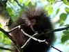 Baby Porcupine, Henwood Township