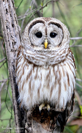 Barred Owl The Bog Garden ~ Greensboro, NC