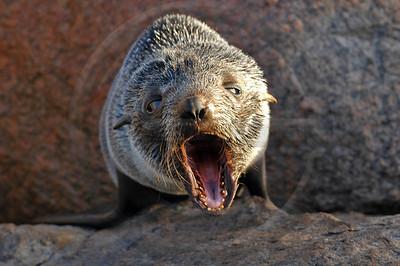WILD0030 New Zealand Fur Seal