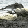 Harbor Seals, San Juan Islands Washington