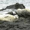 Harbor Seals, San Juan Islands Washington
