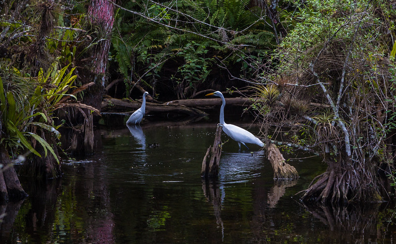 Egrets in the Everglades