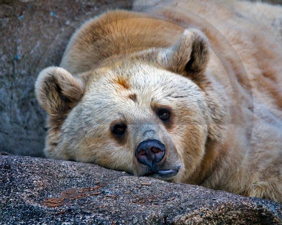 WILD0160 Bear
