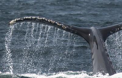 Barnacled tail of a humpback whale (Megaptera novaeangliae).
