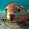 WILD0020 Rare Australian Sea Lion