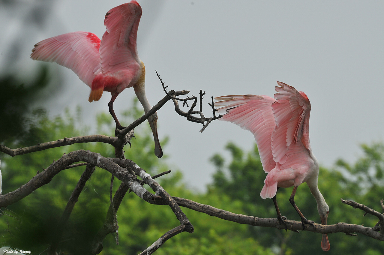 Roseate spoonbills at High Island