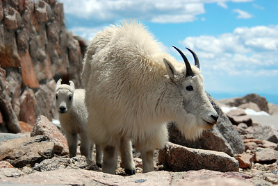 Mountain Goat with baby at Mt Evans, Colorado