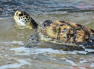 turtle release 326