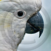 WILD0080 Cockatoo