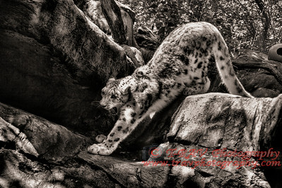 Snow Leopard_Morning Wake Up_3272_BW