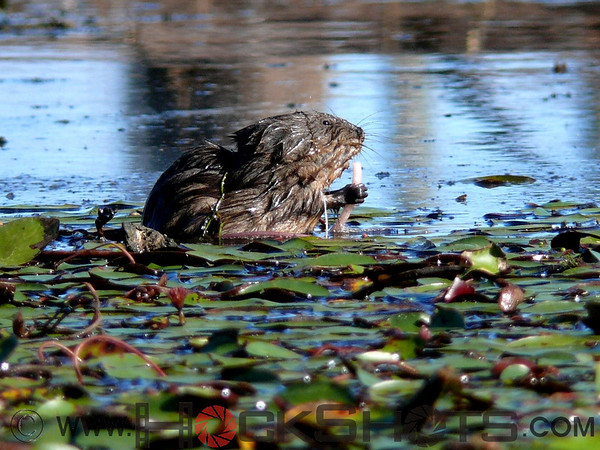 Muskrat at Hilliardton Marsh