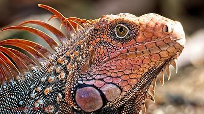 Iguana in Costa Rica (2)