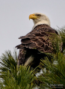 Bald Eagle ~ Huntington Beach State Park Murrells Inlet, South Carolina
