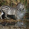 Zebra spooked by crocodile.  Narobi N.P. Kenya
