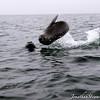 Cape fur seal (Arctocephalus pusillus)