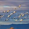 Sandhill cranes in Wilcox, Arizona.