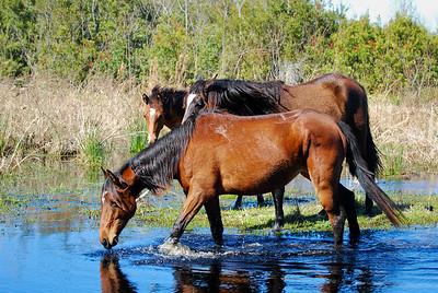 Wild Spanish Cracker Horses Paynes Prairie Preserve State Park Gainesville, Florida © 2010
