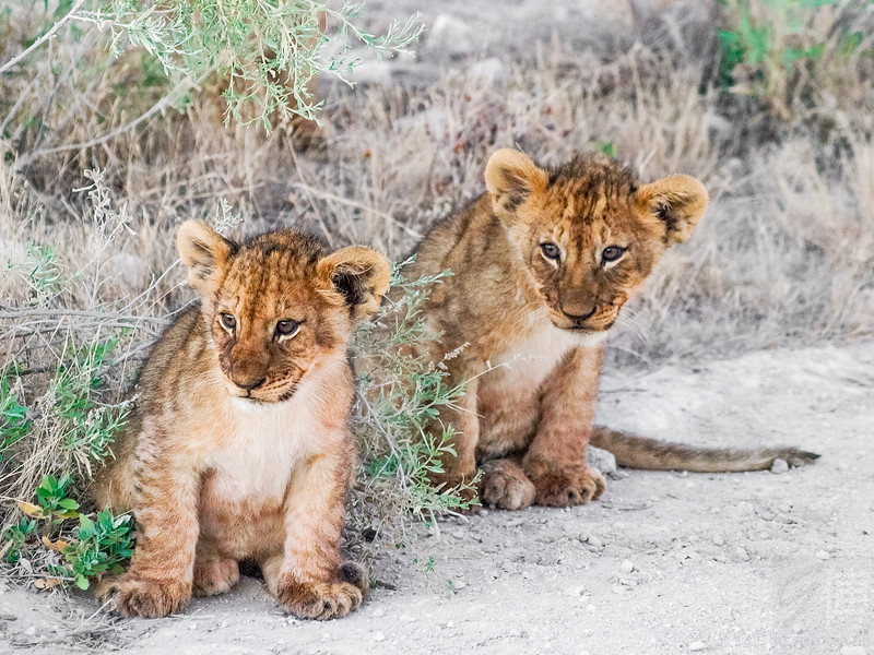 Two curious lion cubs - Etosha National Park, Namibia