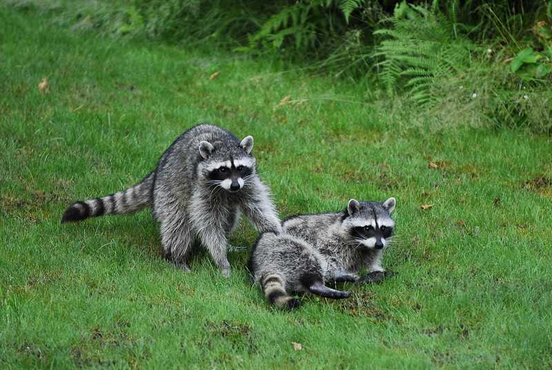 Baby raccoons in our backyard